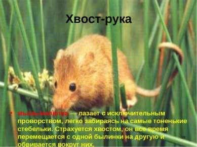 * Хвост-рука мышь-малютка — лазает с исключительным проворством, легко забира...