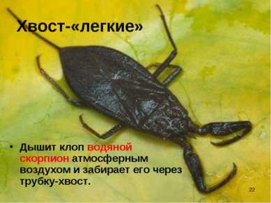 * Хвост-«легкие» Дышит клоп водяной скорпион атмосферным воздухом и забирает ...