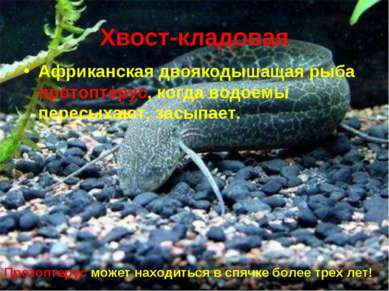 * Хвост-кладовая Африканская двоякодышащая рыба протоптерус, когда водоемы пе...