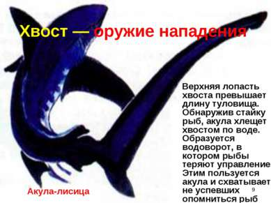 * Хвост — оружие нападения Верхняя лопасть хвоста превышает длину туловища. О...