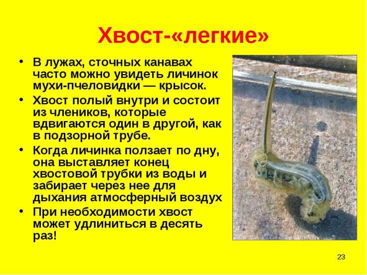* Хвост-«легкие» В лужах, сточных канавах часто можно увидеть личинок мухи-пч...