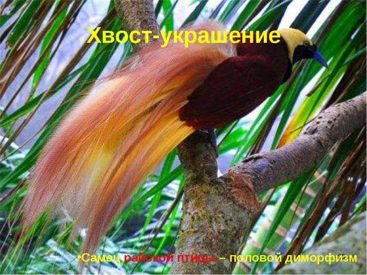 * Хвост-украшение Самец райской птицы – половой диморфизм