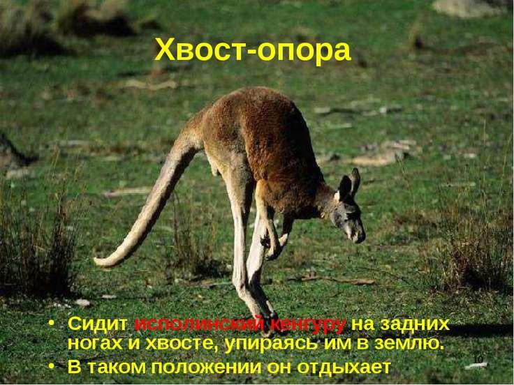 * Хвост-опора Сидит исполинский кенгуру на задних ногах и хвосте, упираясь им...