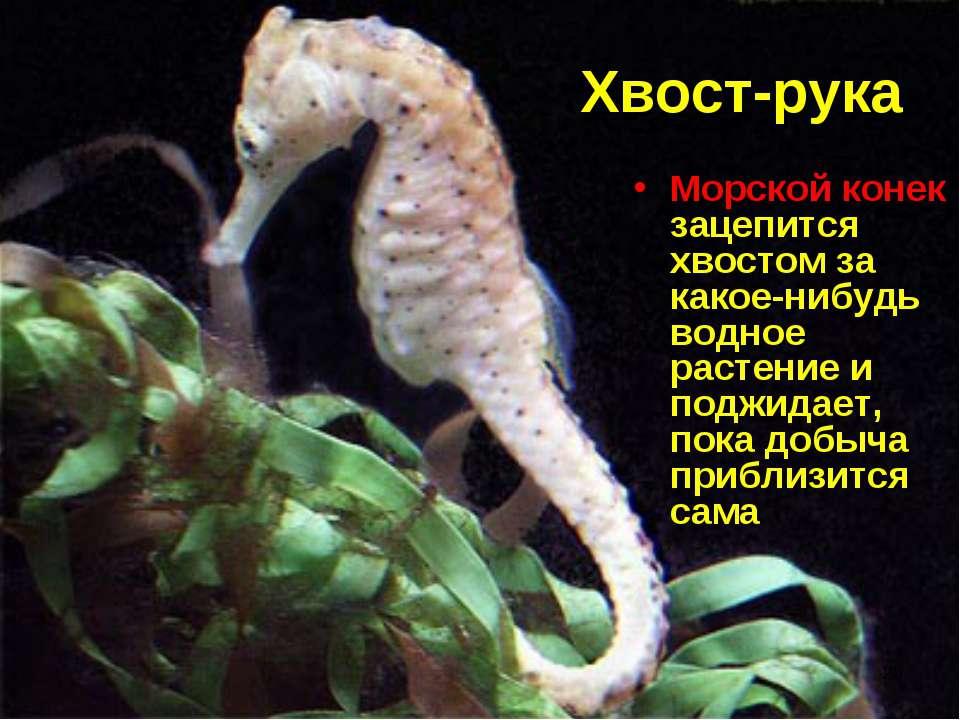 * Хвост-рука Морской конек зацепится хвостом за какое-нибудь водное растение ...