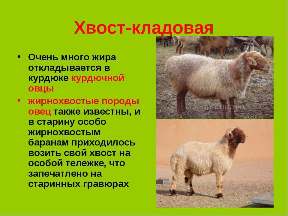 * Хвост-кладовая Очень много жира откладывается в курдюке курдючной овцы жирн...