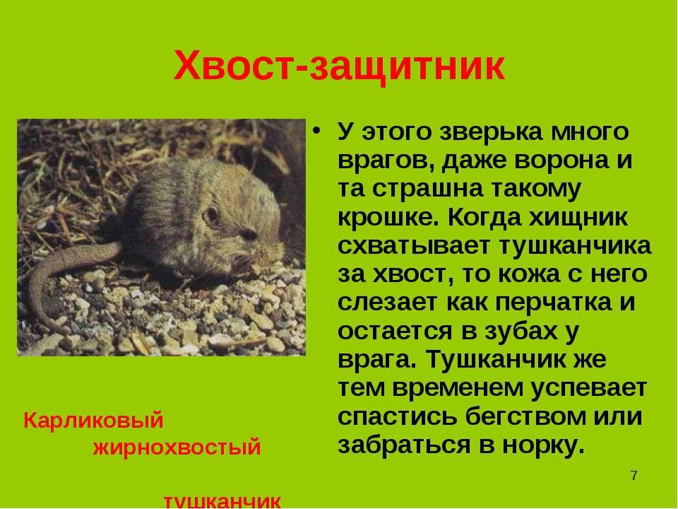 * Хвост-защитник У этого зверька много врагов, даже ворона и та страшна таком...