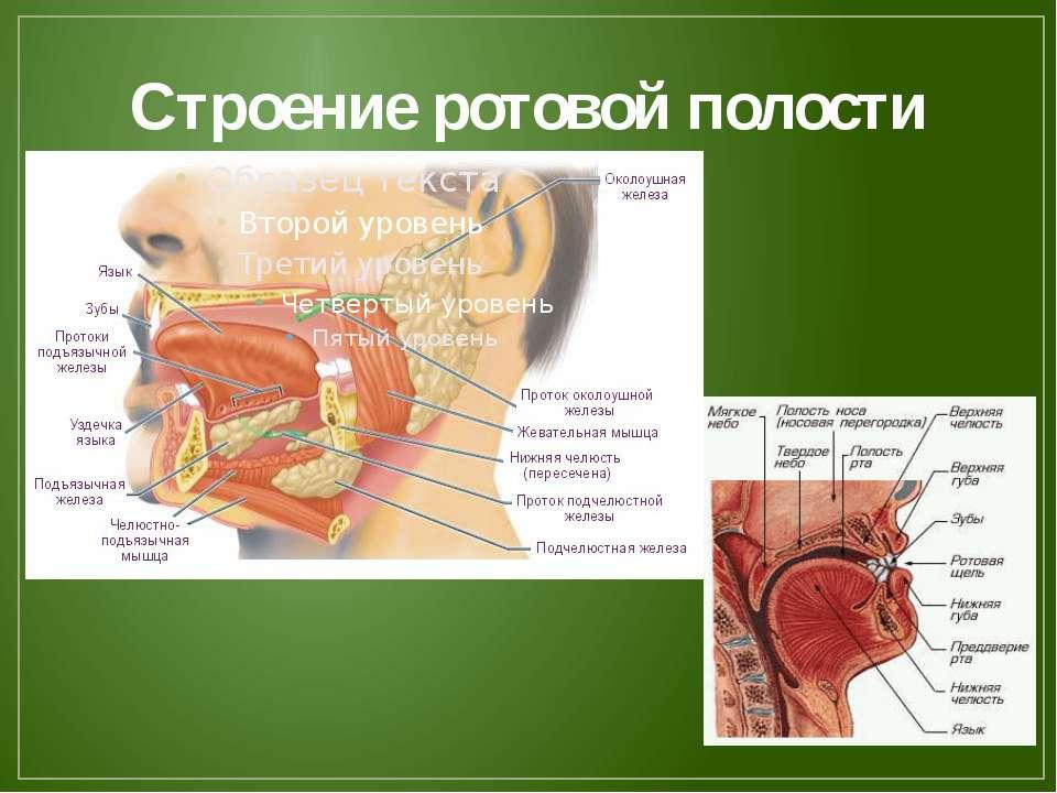 Строение ротовой полости