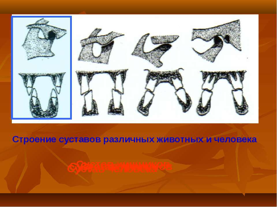 Строение суставов различных животных и человека Сустав хищников Сустав жвачны...