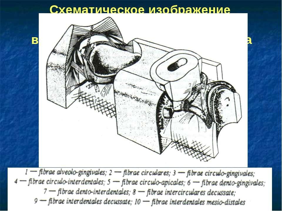 Схематическое изображение пучков волокон маргинального пародонта по H. Fenais