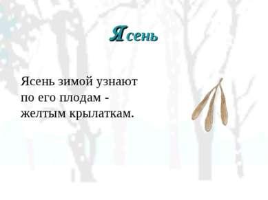 Ясень Ясень зимой узнают по его плодам - желтым крылаткам.