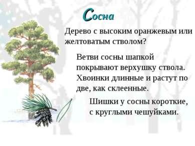 Сосна Дерево с высоким оранжевым или желтоватым стволом? Ветви сосны шапкой п...