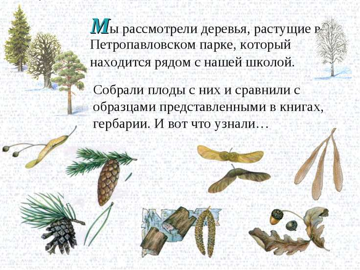 Мы рассмотрели деревья, растущие в Петропавловском парке, который находится р...