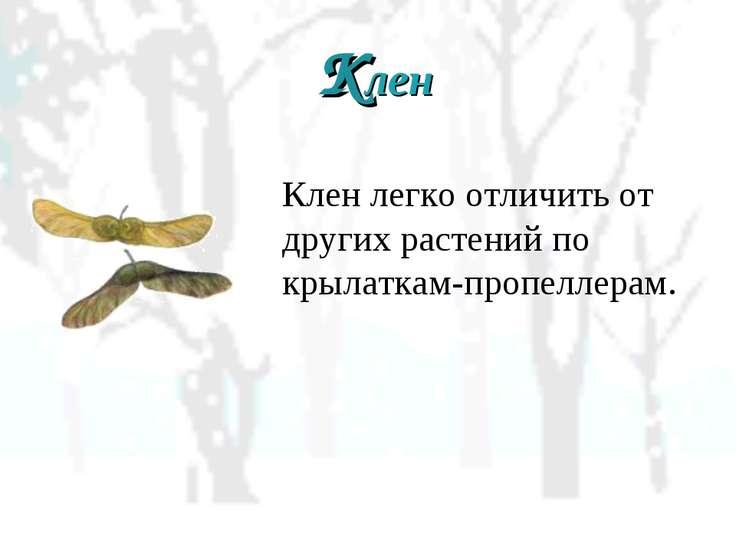 Клен Клен легко отличить от других растений по крылаткам-пропеллерам.