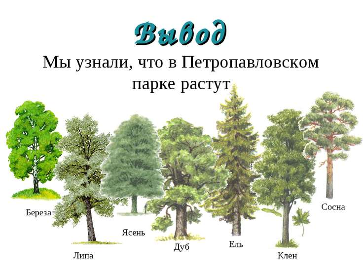 Мы узнали, что в Петропавловском парке растут Вывод