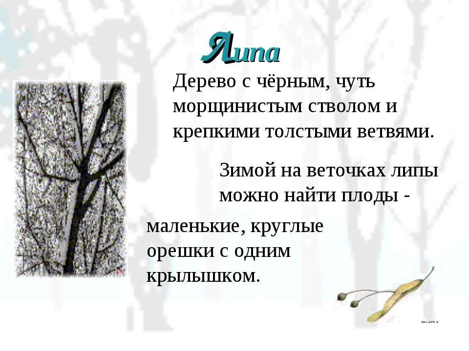 Дерево с чёрным, чуть морщинистым стволом и крепкими толстыми ветвями. Липа З...