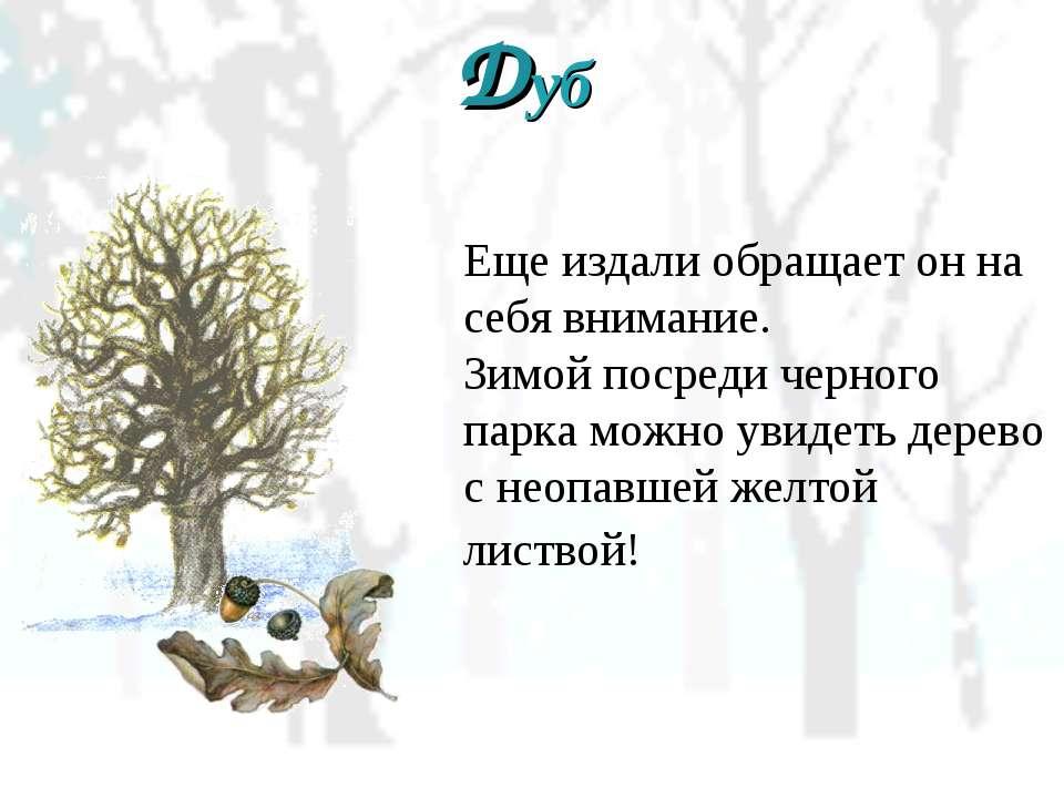 Дуб Еще издали обращает он на себя внимание. Зимой посреди черного парка можн...
