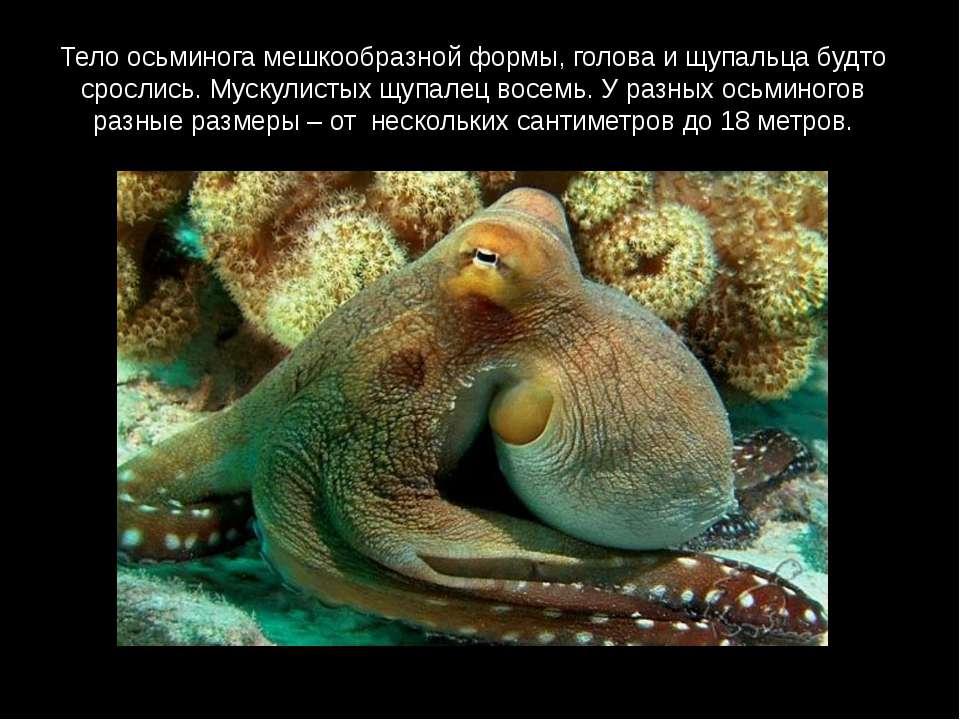 Тело осьминога мешкообразной формы, голова и щупальца будто срослись. Мускули...