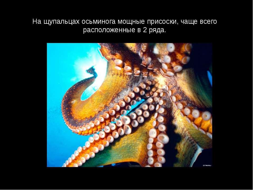 На щупальцах осьминога мощные присоски, чаще всего расположенные в 2 ряда.