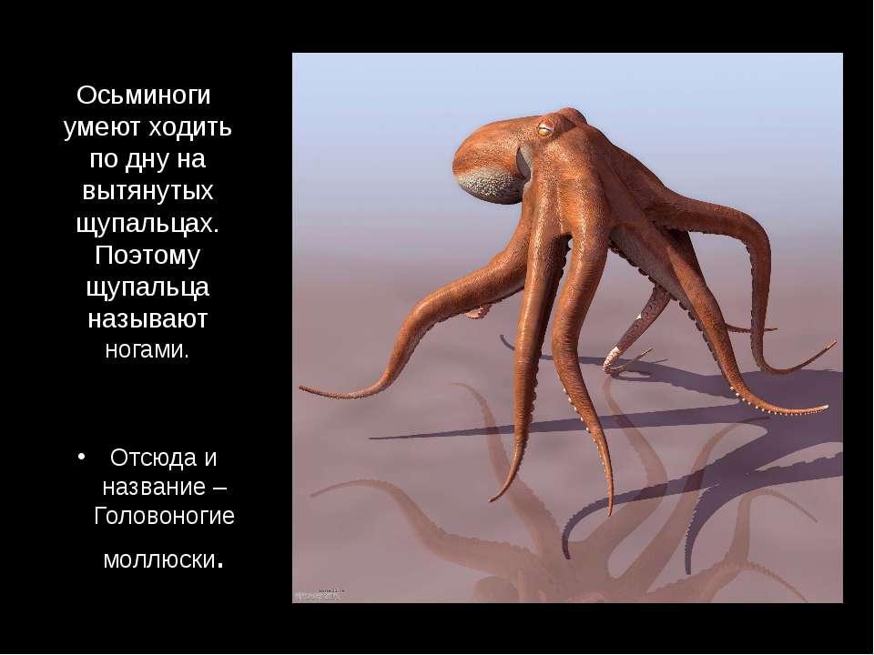 Осьминоги умеют ходить по дну на вытянутых щупальцах. Поэтому щупальца называ...