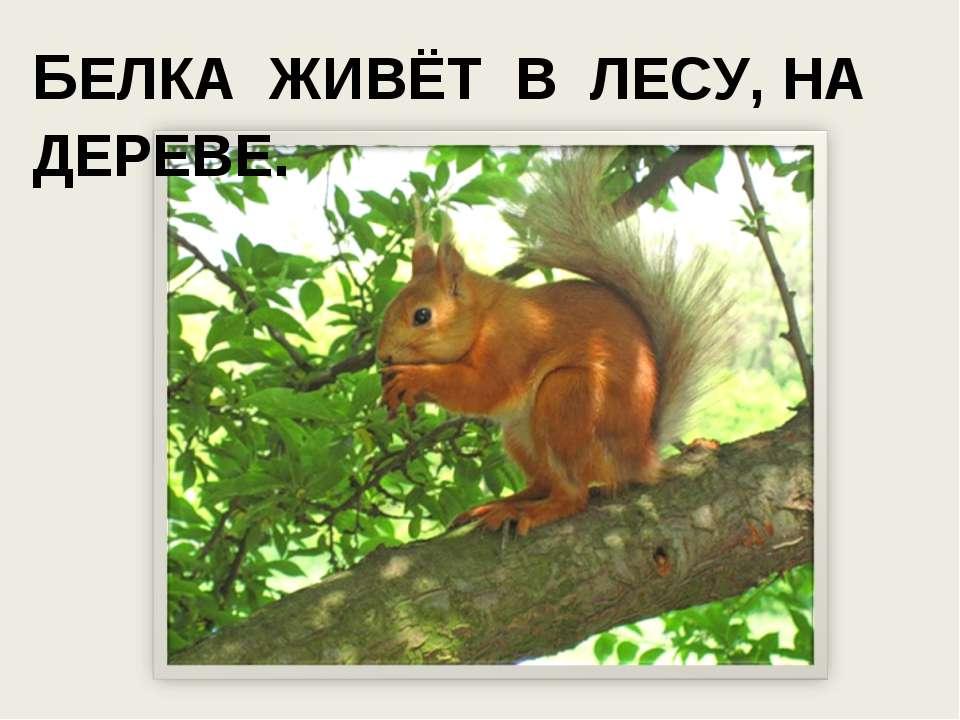 БЕЛКА ЖИВЁТ В ЛЕСУ, НА ДЕРЕВЕ.