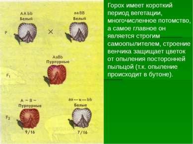 Горох имеет короткий период вегетации, многочисленное потомство, а самое глав...
