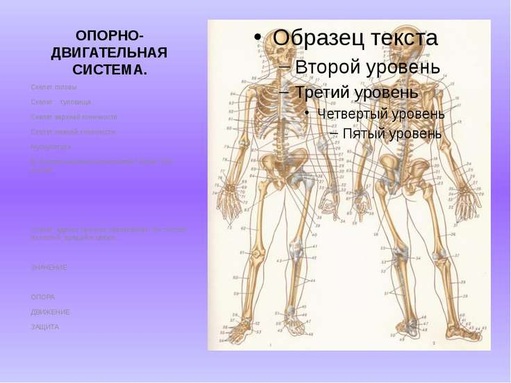 ОПОРНО-ДВИГАТЕЛЬНАЯ СИСТЕМА. Скелет головы. Скелет туловища Скелет верхней ко...