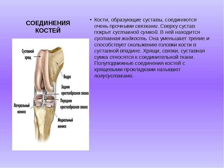 СОЕДИНЕНИЯ КОСТЕЙ Кости, образующие суставы, соединяются очень прочными связк...