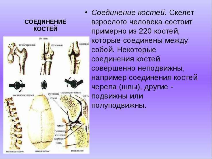 СОЕДИНЕНИЕ КОСТЕЙ Соединение костей. Скелет взрослого человека состоит пример...