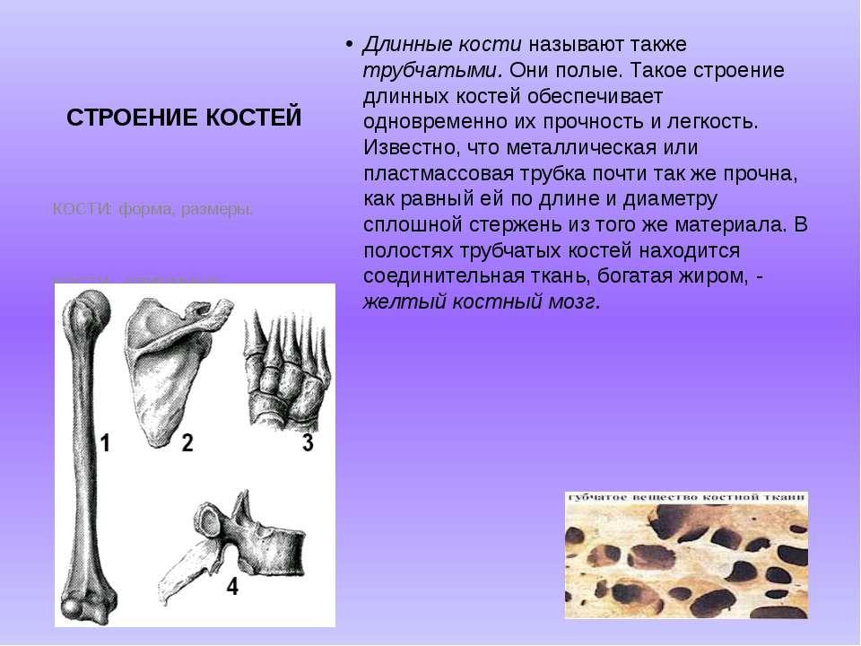 СТРОЕНИЕ КОСТЕЙ Длинные кости называют также трубчатыми. Они полые. Такое стр...