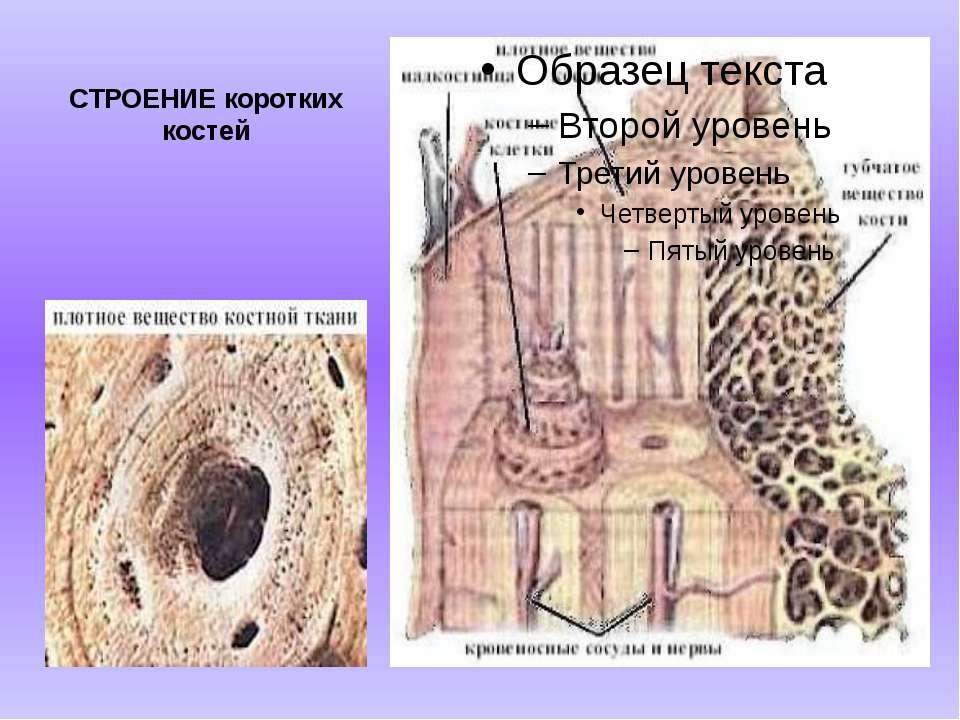 СТРОЕНИЕ коротких костей Короткие кости образованы в основном губчатым вещест...