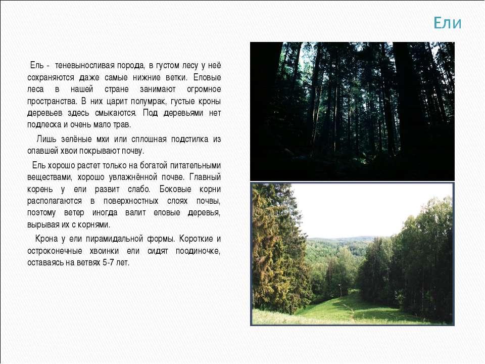 Ель - теневыносливая порода, в густом лесу у неё сохраняются даже самые нижни...