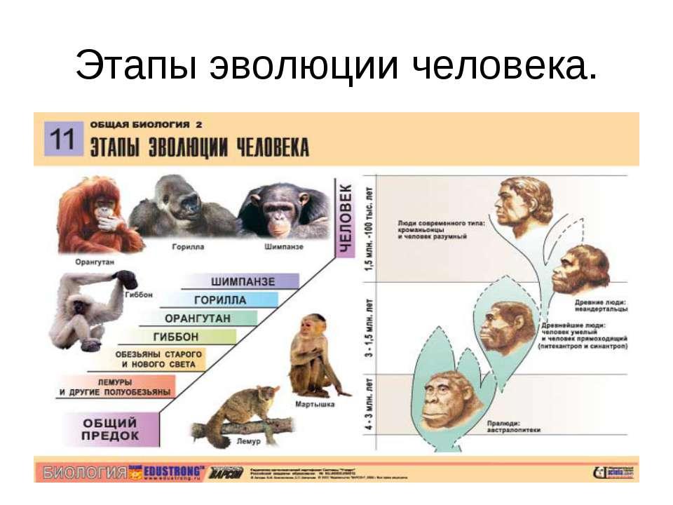 Этапы эволюции человека.