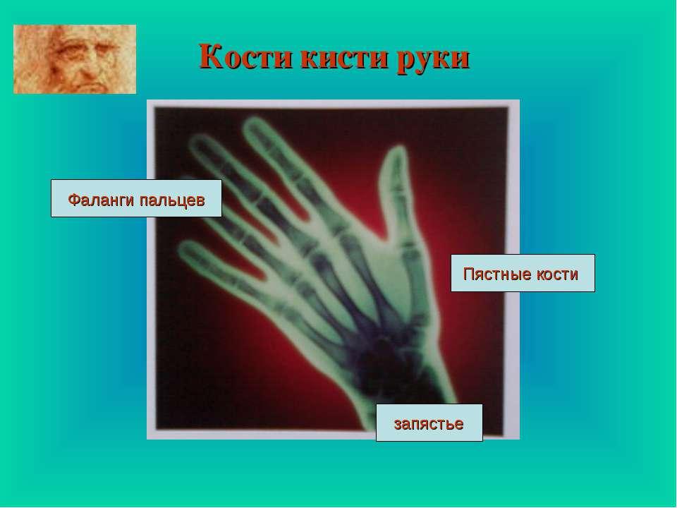 Кости кисти руки Фаланги пальцев запястье Пястные кости