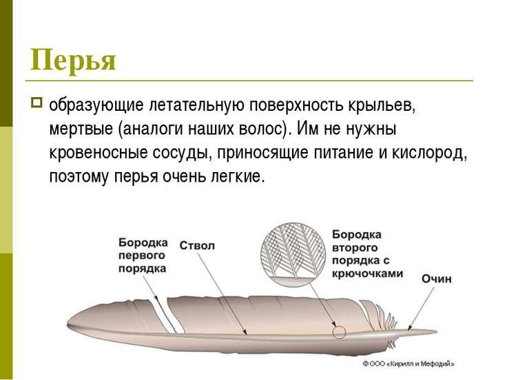 Перья образующие летательную поверхность крыльев, мертвые (аналоги наших воло...