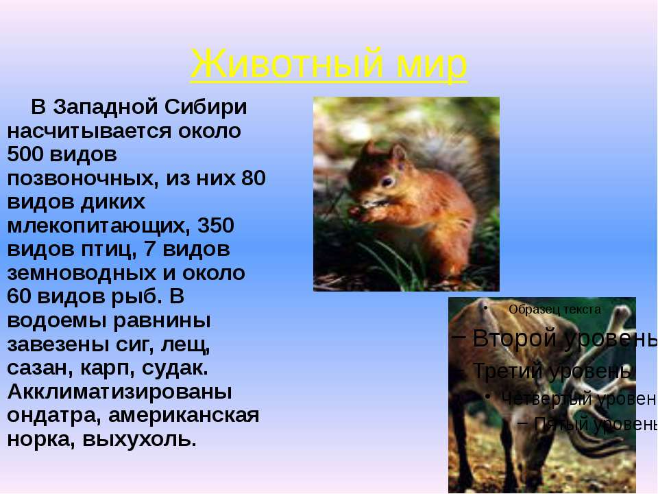 Животный мир В Западной Сибири насчитывается около 500 видов позвоночных, из ...
