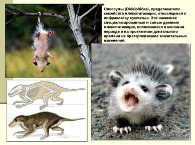 Опоссумы (Didelphidae), представители семейства млекопитающих, относящиеся к ...