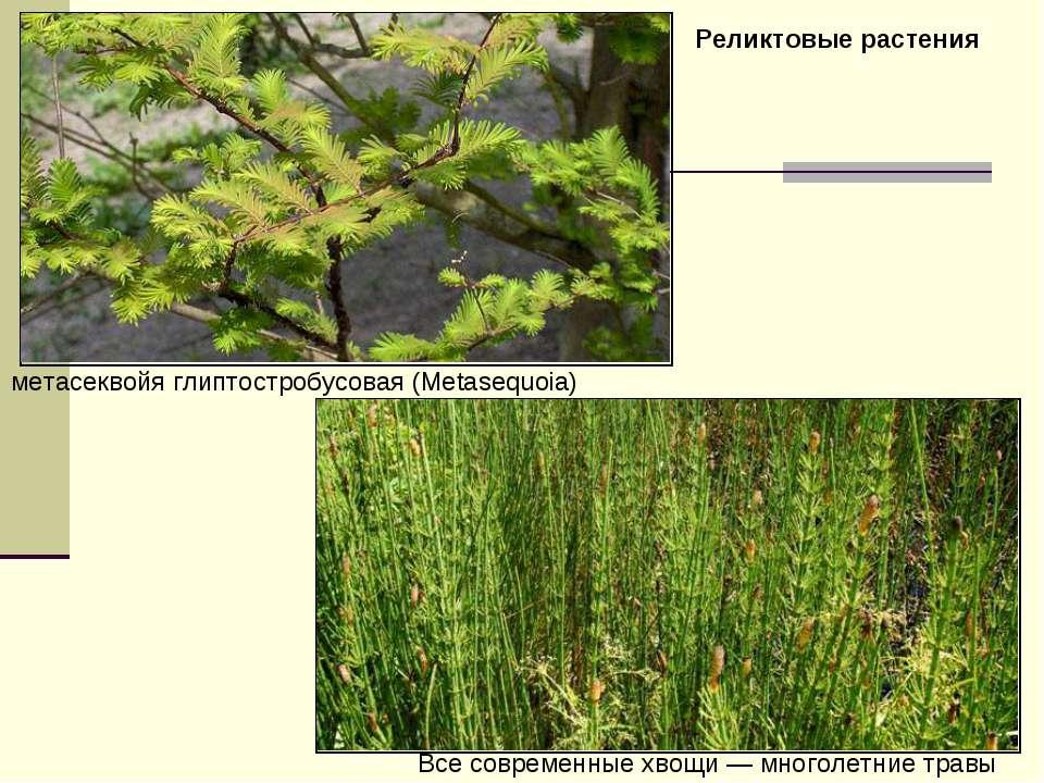 метасеквойя глиптостробусовая (Metasequoia) Все современные хвощи— многолетн...