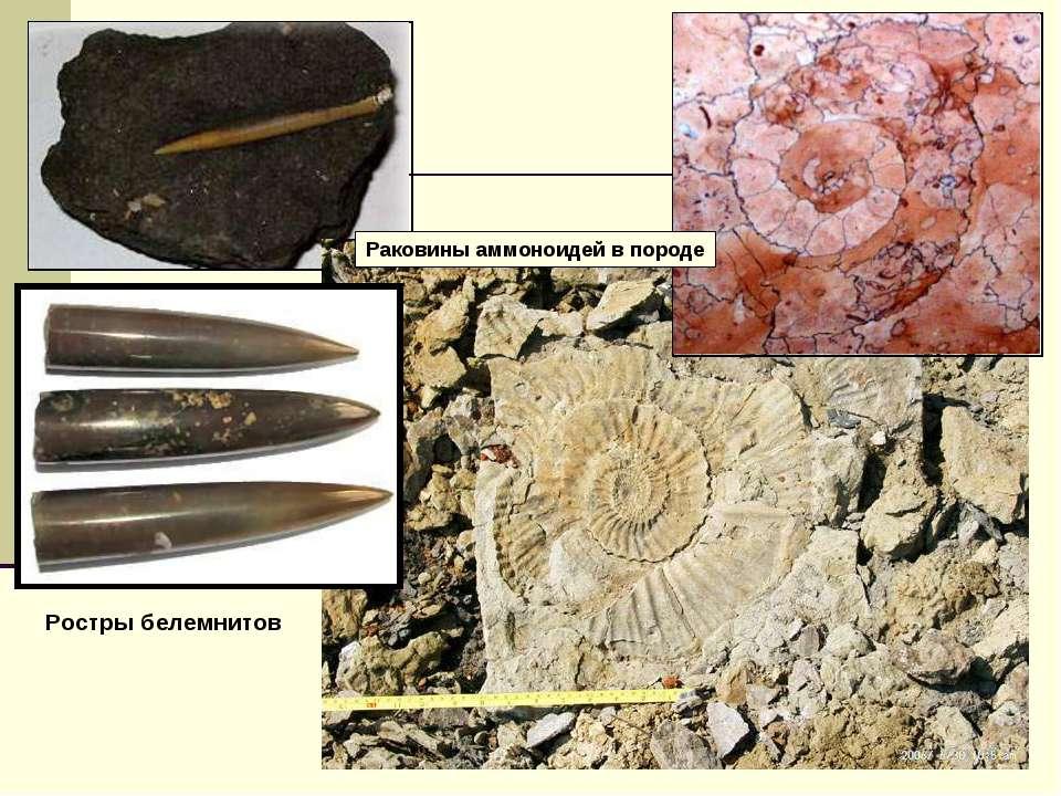 Ростры белемнитов Раковины аммоноидей в породе