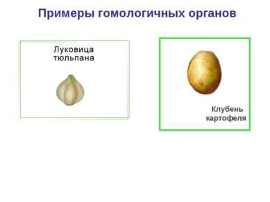 Примеры гомологичных органов Клубень картофеля