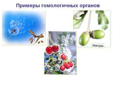 Примеры гомологичных органов Парашютик одуванчика Крылатка клена Костянка виш...