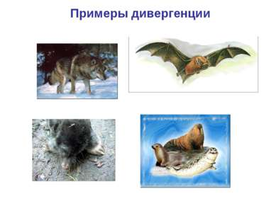Примеры дивергенции Ластоногие Крот Волк Летучая мышь