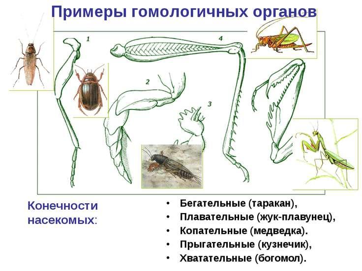 Бегательные (таракан), Плавательные (жук-плавунец), Копательные (медведка). П...
