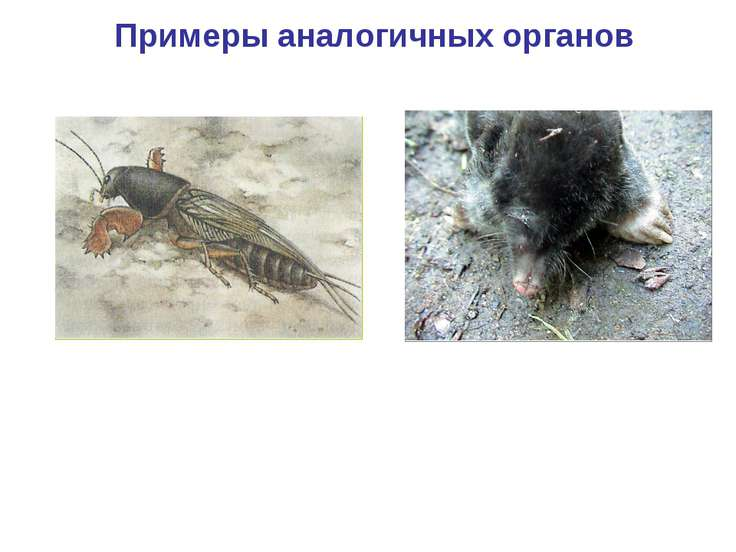 Примеры аналогичных органов Копательные конечности крота Копательные конечнос...