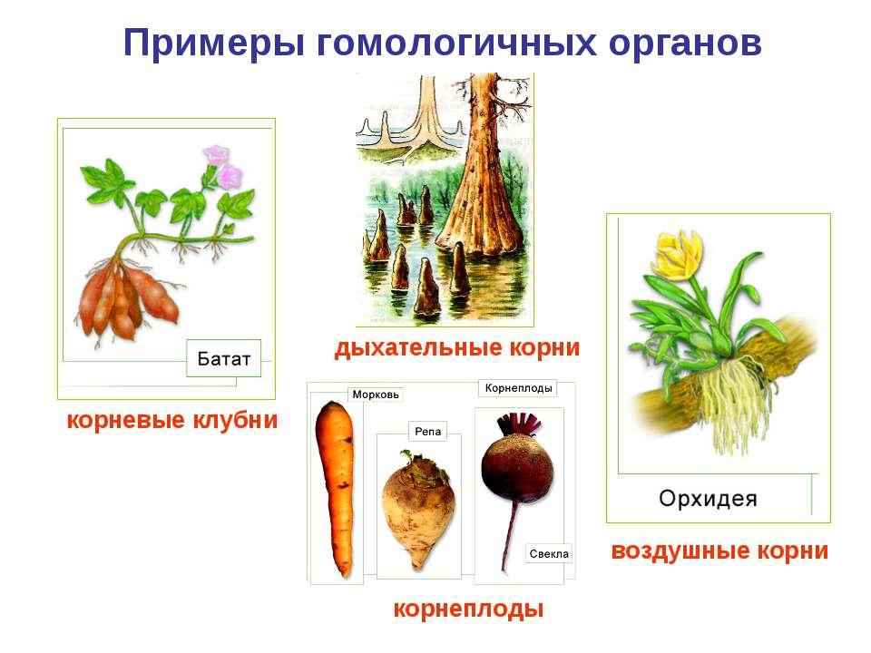 Примеры гомологичных органов корневые клубни дыхательные корни воздушные корн...