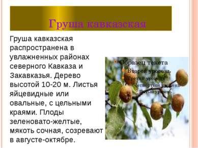 Груша кавказская Груша кавказская распространена в увлажненных районах северн...