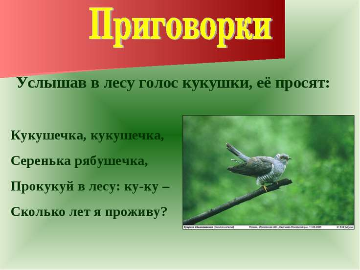 Услышав в лесу голос кукушки, её просят: Кукушечка, кукушечка, Серенька рябуш...