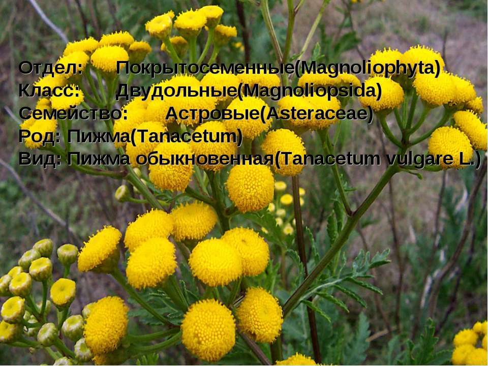 Отдел: Покрытосеменные(Magnoliophyta) Класс: Двудольные(Magnoliopsida) Семейс...