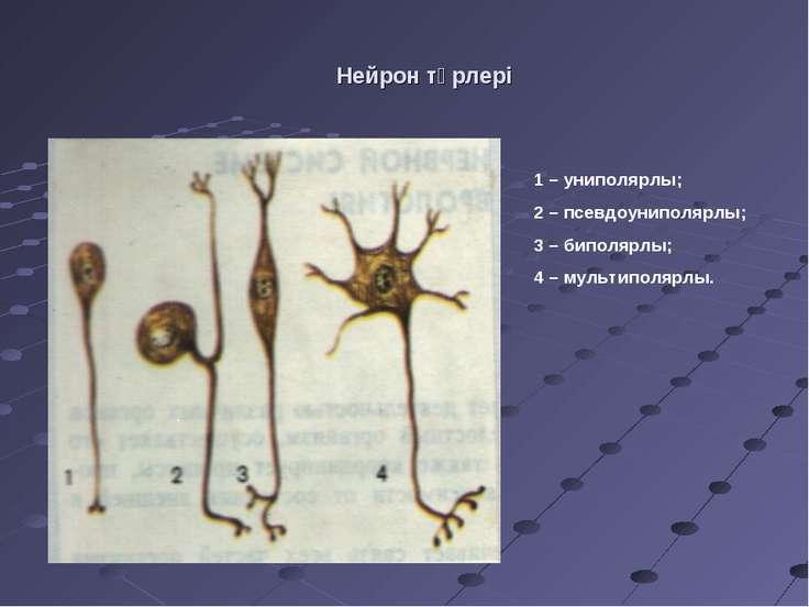 Нейрон түрлері 1 – униполярлы; 2 – псевдоуниполярлы; 3 – биполярлы; 4 – мульт...
