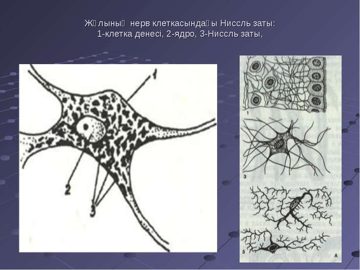 Жұлының нерв клеткасындағы Ниссль заты: 1-клетка денесі, 2-ядро, 3-Ниссль заты,