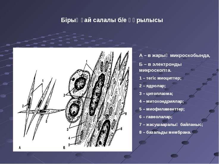 Бірыңғай салалы б/е құрылысы А – в жарық микроскобында, Б – в электронды микр...